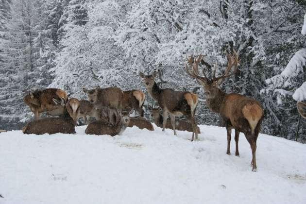 Schneemassen Fordern Wild Und Jager In Oberosterreich Massiv