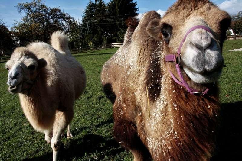 wie viel bin ich in kamelen wert