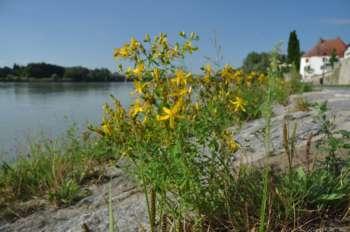 Botanischer Stadtrundgang Schärding mit Michael Hohla
