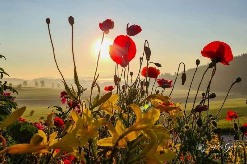 Mohnblumen bei Sonnenaufgang - Bild 1