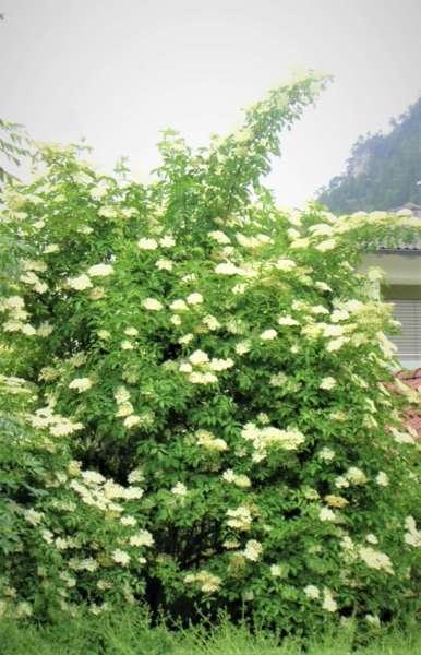 Almtal : Holunder als Heilpflanze sehr geschätzt. - Bild 1