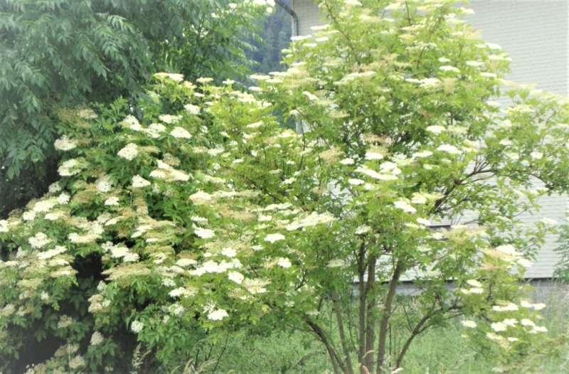 Almtal : Holunder als Heilpflanze sehr geschätzt. - Bild 2