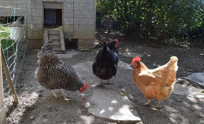 Drei Hühner Erhitzen Die Gemüter In Einer Ennser Siedlung
