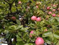 Bio Äpfel zu verschenken
