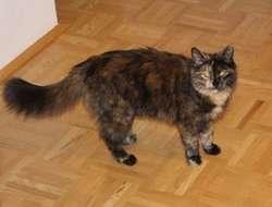 Katze Lilli in Wels/Laahen vermisst