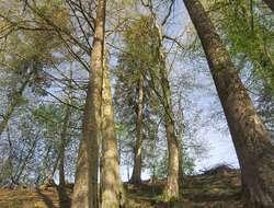 Brennholz Bäume, Esche